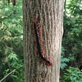 木の上にいた大きなトビズムカデ - 1