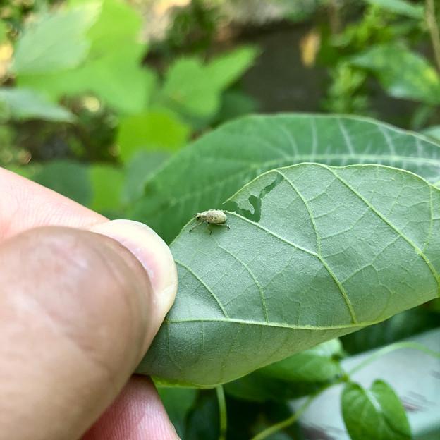 大きな葉っぱの上にいた小さなゾウムシ(コフキゾウムシ?) - 8