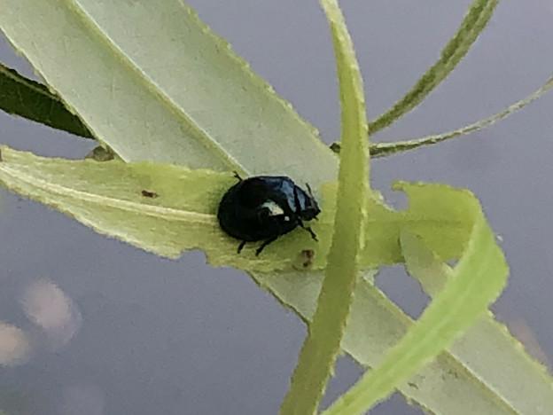 三ツ又ふれあい公園にいた黒い甲虫 - 2