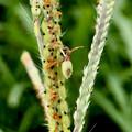 ホソハリカメムシの幼虫 - 3