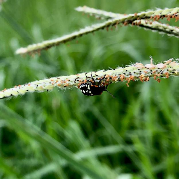 ミナミアオカメムシの幼虫(第三段階) - 1
