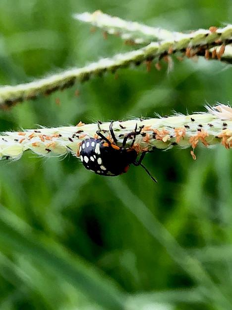 ミナミアオカメムシの幼虫(第三段階) - 3