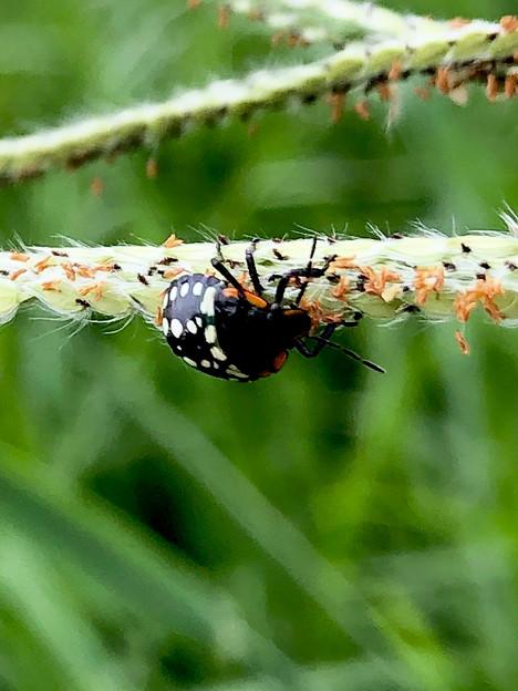 ミナミアオカメムシの幼虫(第三段階) - 4