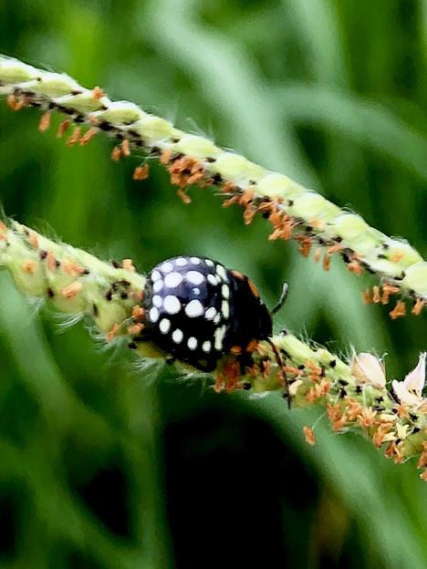 ミナミアオカメムシの幼虫(第三段階) - 6
