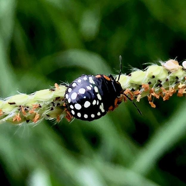 ミナミアオカメムシの幼虫(第三段階) - 8