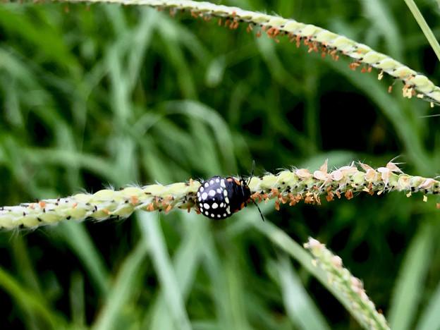 ミナミアオカメムシの幼虫(第三段階) - 9