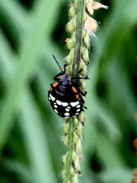 ミナミアオカメムシの幼虫(第三段階) - 11