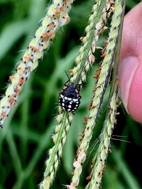 ミナミアオカメムシの幼虫(第三段階) - 15
