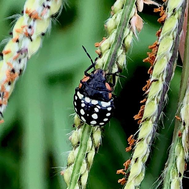ミナミアオカメムシの幼虫(第三段階) - 16