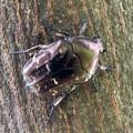 木の上にとまっていたシロテンハナムグリ - 3