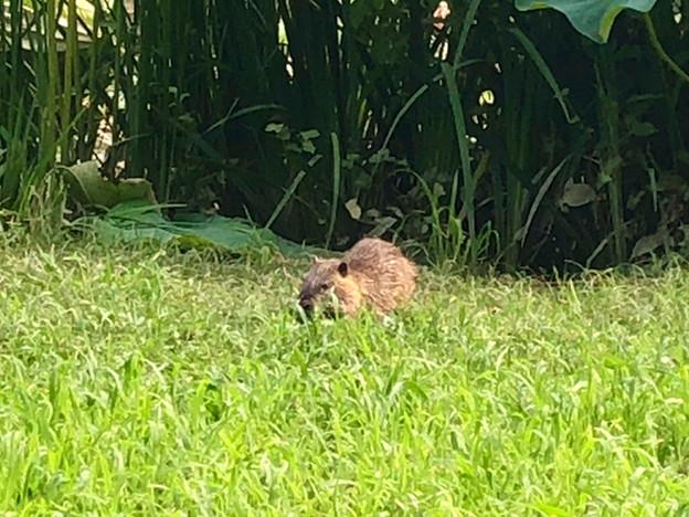 草を食べていた子供のヌートリア