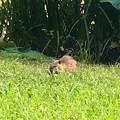 Photos: 草を食べていた子供のヌートリア