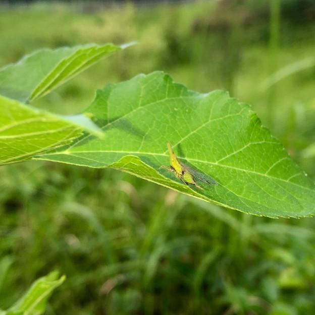 葉っぱの上にいたテングスケバ - 2