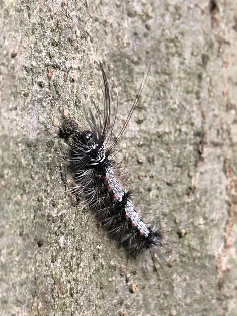 木の上にいた毛の長い白黒の毛虫 - 3