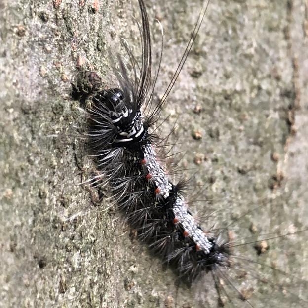 木の上にいた毛の長い白黒の毛虫 - 4