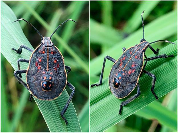 草むらにいたキマダラカメムシの幼虫