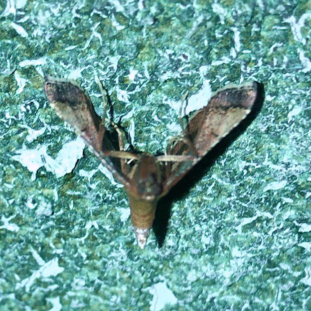 奇妙な姿勢で壁に掴まっていた小さい蛾 - 1