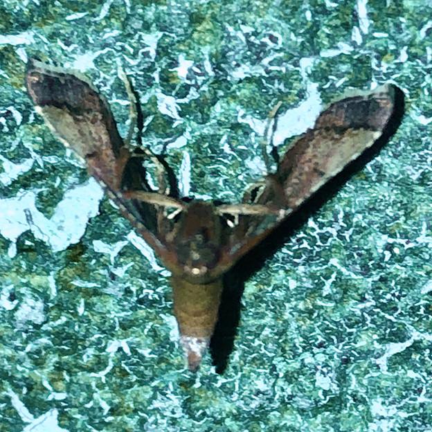 奇妙な姿勢で壁に掴まっていた小さい蛾 - 2