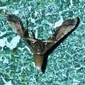 Photos: 奇妙な姿勢で壁に掴まっていた小さい蛾 - 2