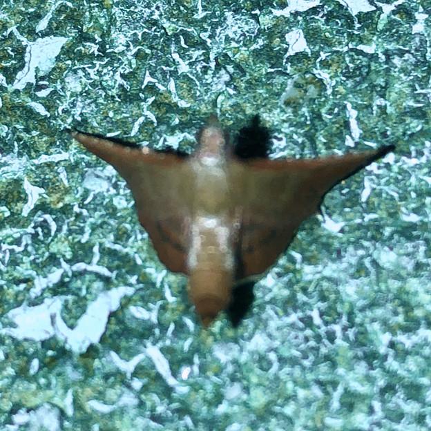 奇妙な姿勢で壁に掴まっていた小さい蛾 - 3