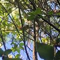 Photos: 木の上にいたソウシチョウ - 4