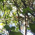 Photos: 木の上にいたソウシチョウ - 5