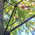 Photos: 木の上にいたソウシチョウ - 2