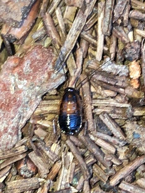 モリチャバネゴキブリの幼虫