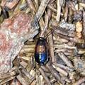 Photos: モリチャバネゴキブリの幼虫