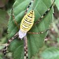 息を吹きかけたら葉っぱの上に隠れたナガコガネグモ - 4
