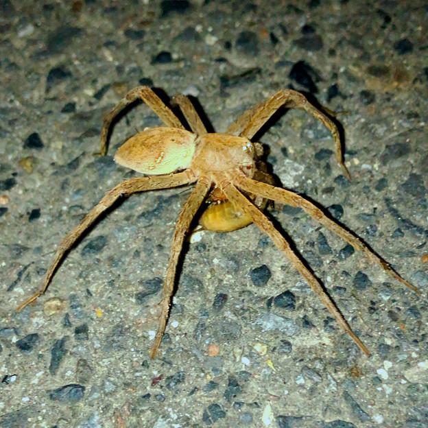 道路の上で何か(セミの幼虫?)を食べていたイオウイロハシリグモ - 1