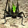 Photos: 体の大部分が真っ黒いヒメギス - 4