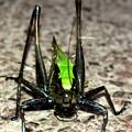 Photos: 体の大部分が真っ黒いヒメギス - 6