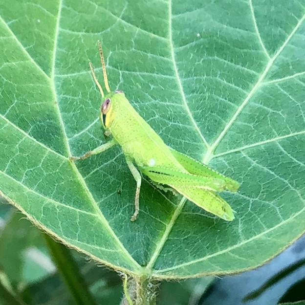 葉っぱの上にいたツチイナゴの幼虫 - 1