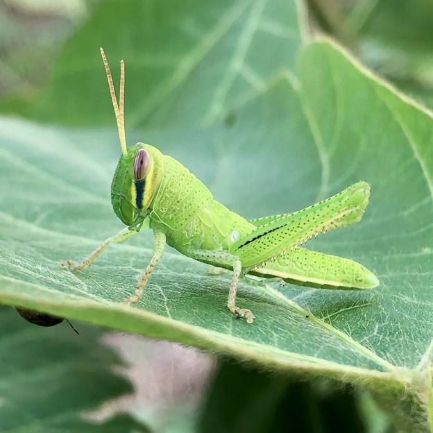 葉っぱの上にいたツチイナゴの幼虫 - 4