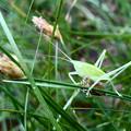 Photos: ちょっとウルトラマンっぽかったキリギリスの幼虫? - 4