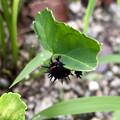 Photos: 葉っぱをムシャムシャ食べていた黒い毛虫 - 3