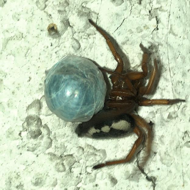 ボール(糸でぐるぐる巻きのダンゴムシ?)の上で遊んでるように見えたヒラタグモ - 1