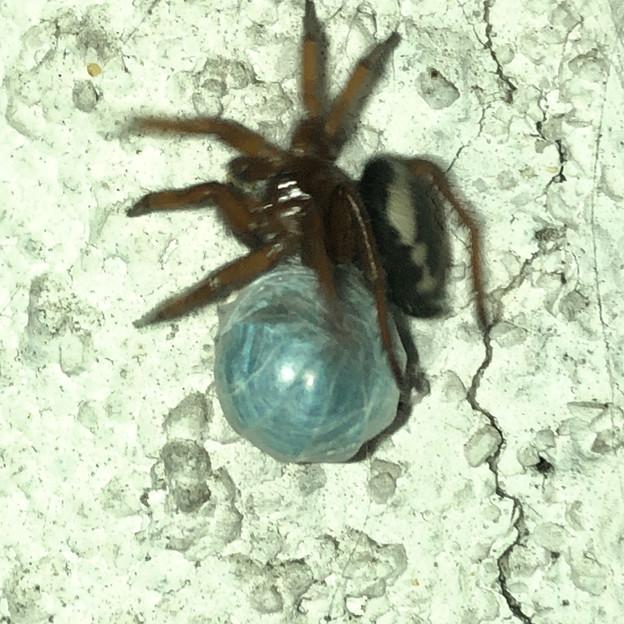 ボール(糸でぐるぐる巻きのダンゴムシ?)の上で遊んでるように見えたヒラタグモ - 2