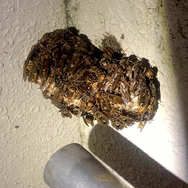 真夏の暑い日の早朝巣に集まって寝ていた?たぶんセグロアシナガバチ - 1