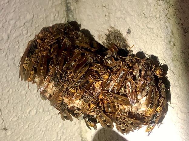 真夏の暑い日の早朝巣に集まって寝ていた?たぶんセグロアシナガバチ - 2