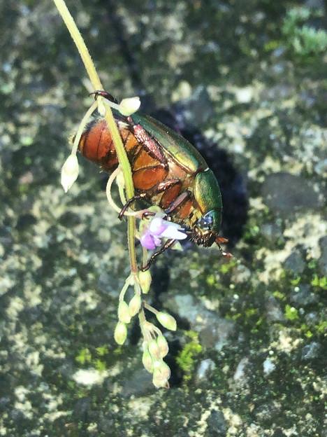 花の上に止まるコガネムシ - 1