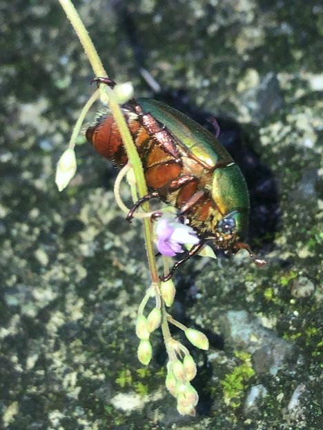 花の上に止まるコガネムシ - 2