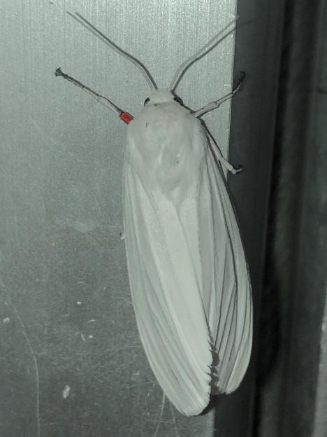 白地に赤色がカッコいい蛾「シロヒトリ」 - 1