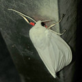 Photos: 白地に赤色がカッコいい蛾「シロヒトリ」 - 2
