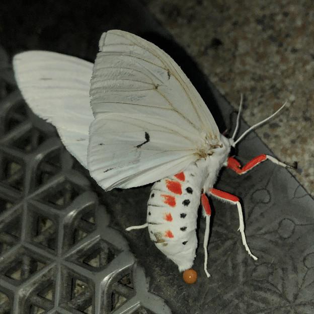 白地に赤色がカッコいい蛾「シロヒトリ」 - 3