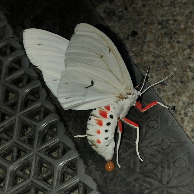 白地に赤色がカッコいい蛾「シロヒトリ」 - 4