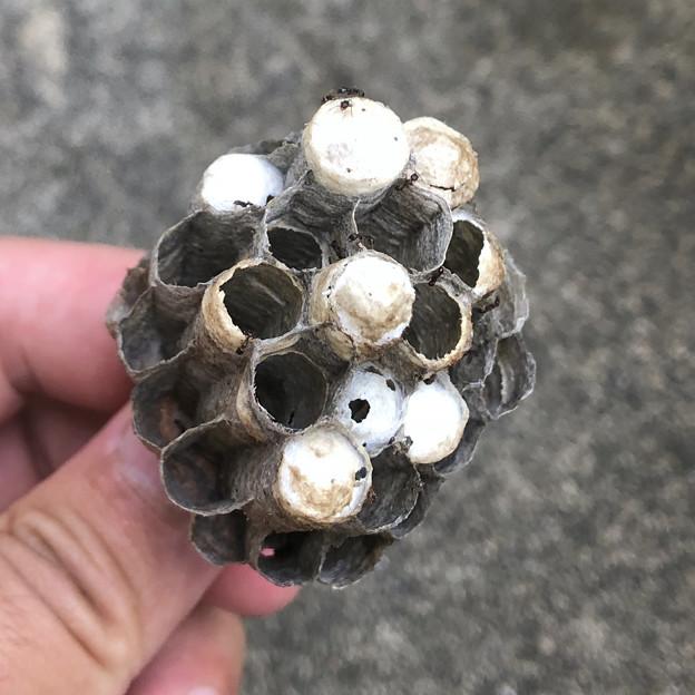 小さなアシナガバチの巣 - 1
