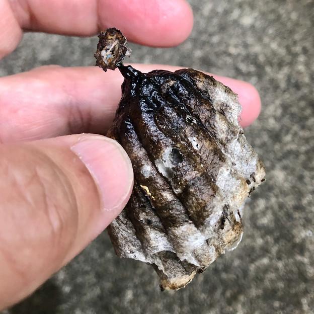 小さなアシナガバチの巣 - 5