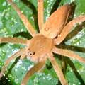 Photos: また葉っぱの上にいた小さめのイオウイロハシリグモ - 4